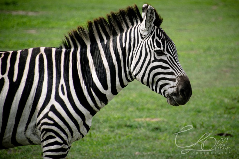 Beautifully patterned zebra in profile with strong black and white stripes