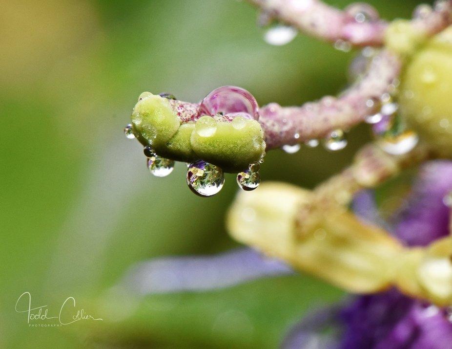 pasiflora drops