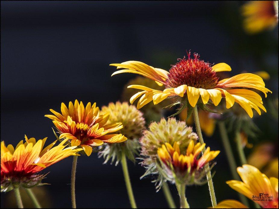 (or blanket flowers)
