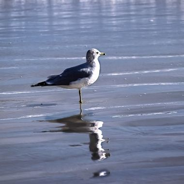Seagull Reflection NW