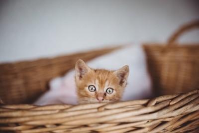 Cute brown kitten in basket