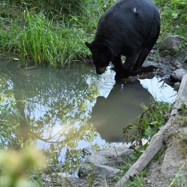Caught this black bear reflecting on life as it came down to a creek for a drink and a cooling bath.