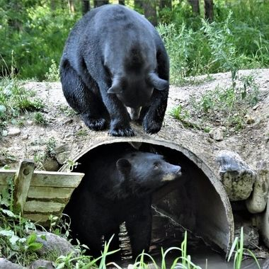 These two Black bears appeared to be playing hide and seek or some other bear version of the game. Vince Shute Wildlife Refuge Nikon D7200 Tamron 18-400 lens