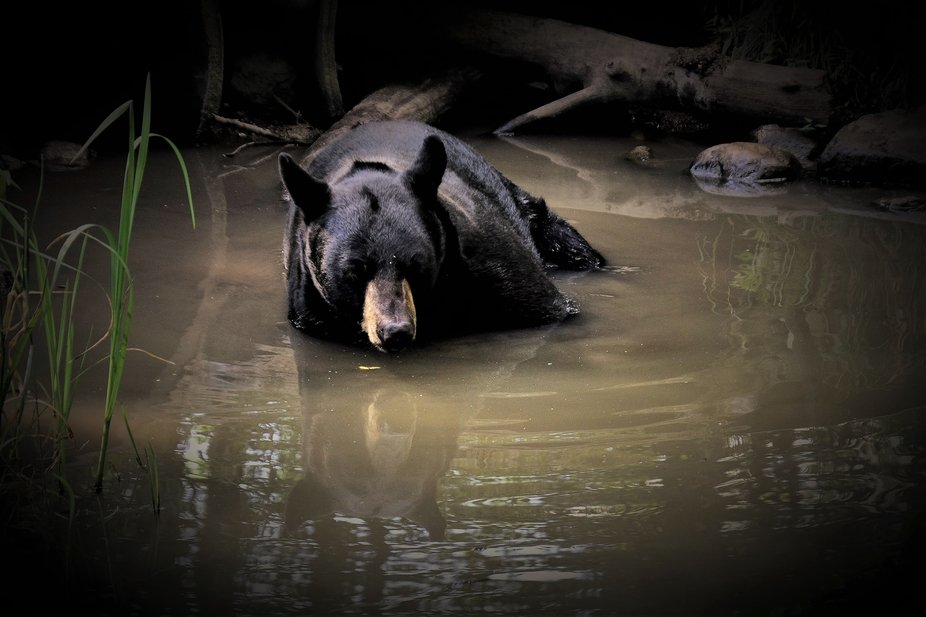Caught this bear enjoying a cooling soak in the creek