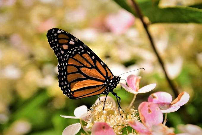Caught this Monarch checking out the flowers at a butterfly release for hospice