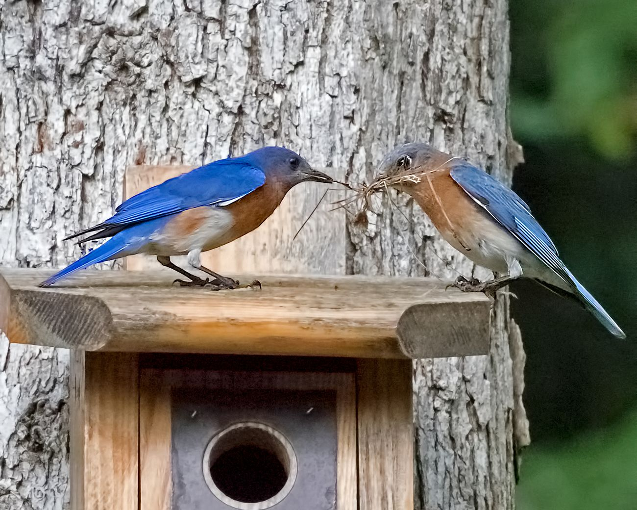 Pair of blue birds sharing nesting material atop a tree-mounted bird box.
