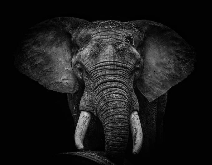 Magnificent mammal by staceyholleystark - One Monochrome Photo Contest