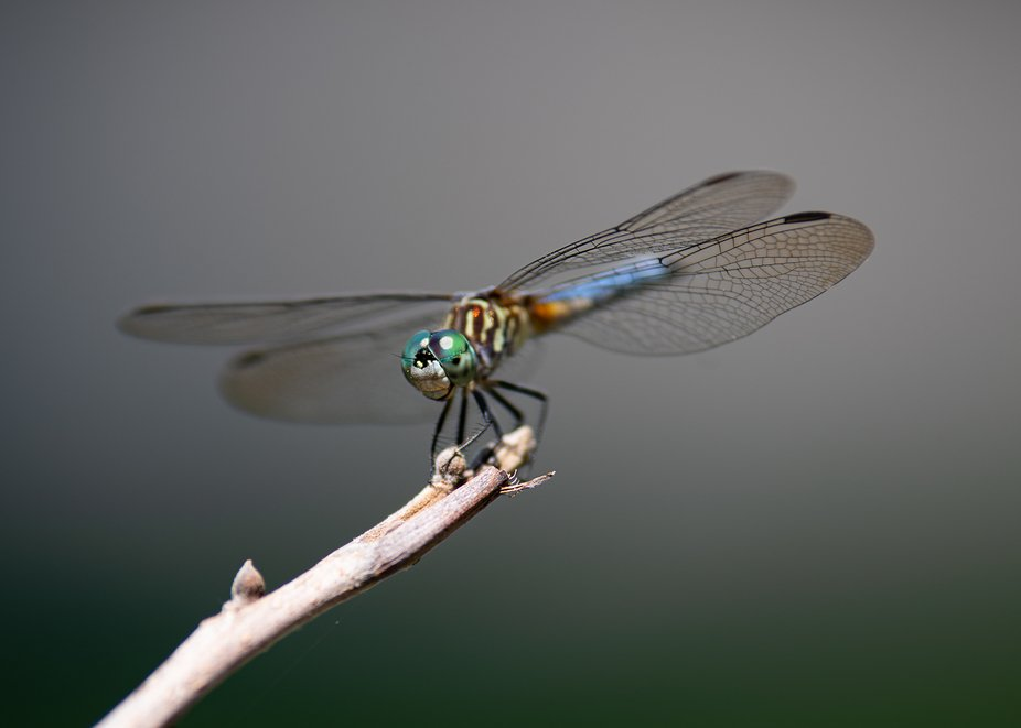 Sweet Dragonfly
