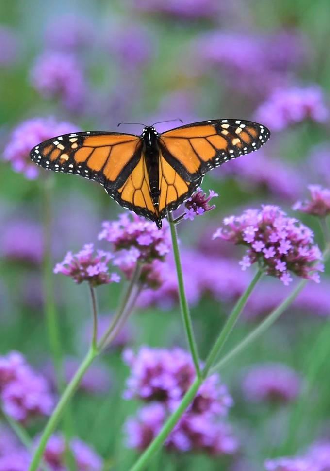 Monarh On Flower