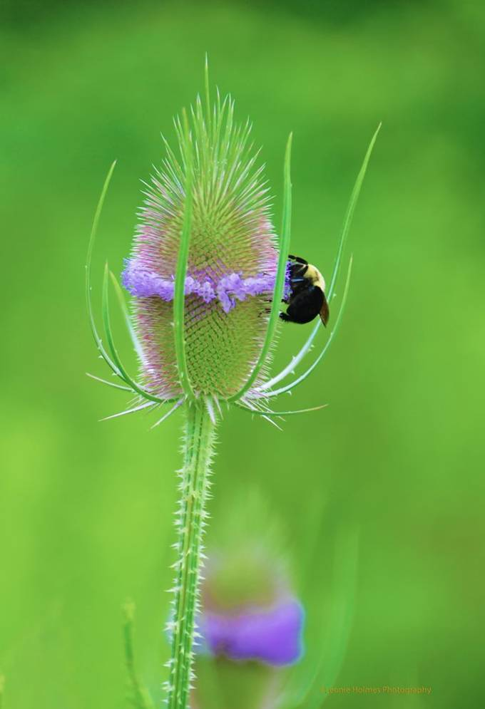 Bee on Teasel 2