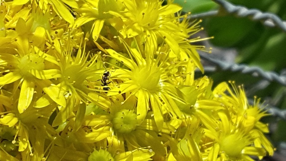 ANT  AMONG  YELLOW FLOWERS
