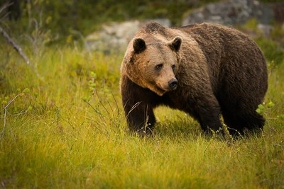 Brown bear in the woods of Finland
