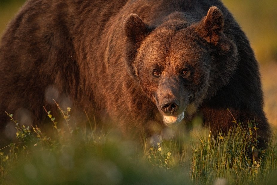 Bear in in the lights of sunset