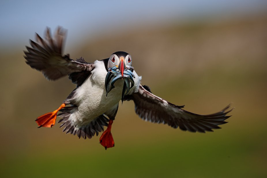 Flying Puffin with Sandeels
