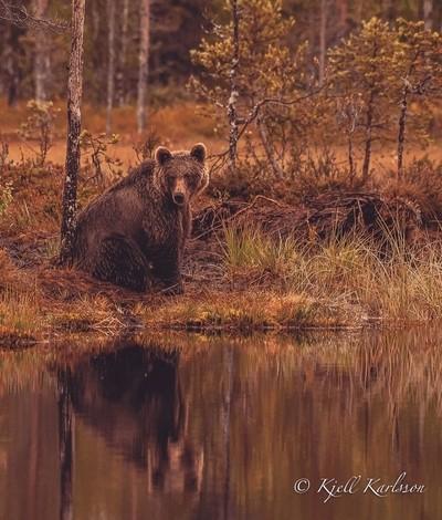 Brown bear looking over lake