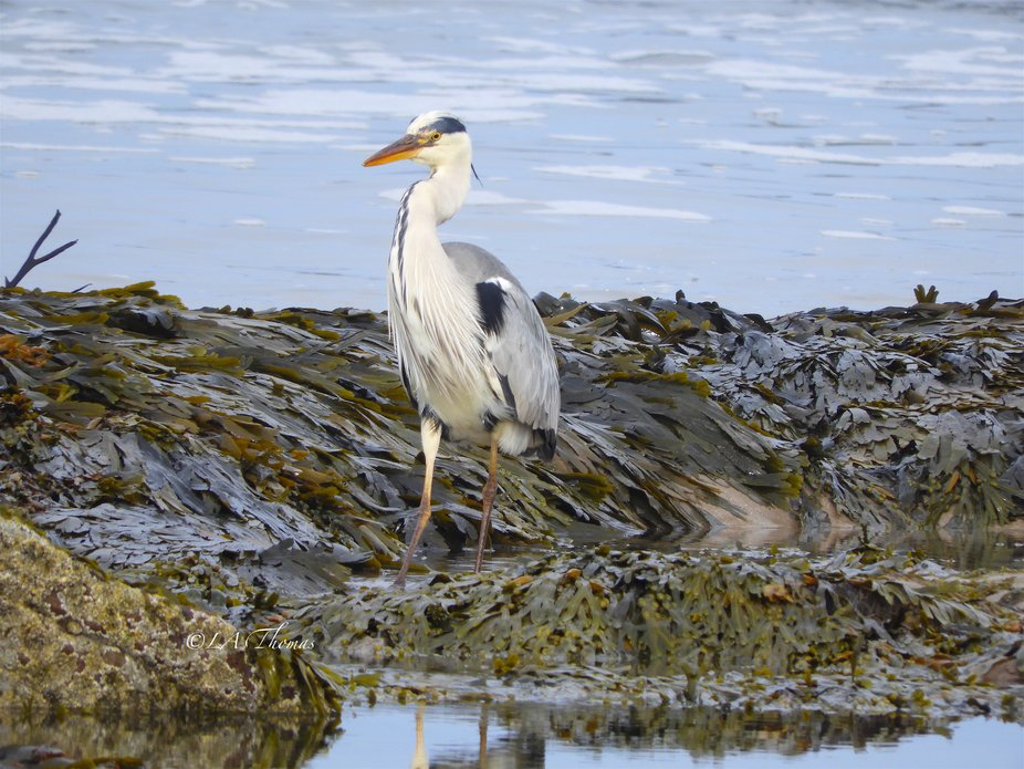 Heron and Seaweed