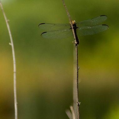 Dragonfly - on a stick!