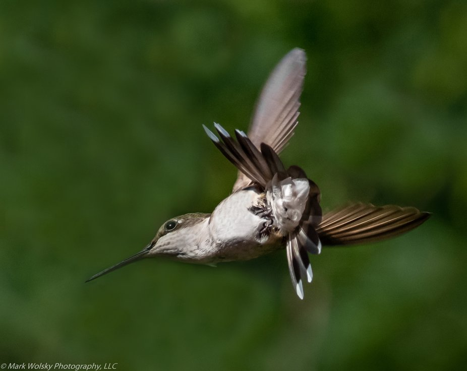 A key factor which allows me to capture hummingbird photos so clearly and beautifully involves es...