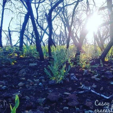 A forest reborn after wildfire