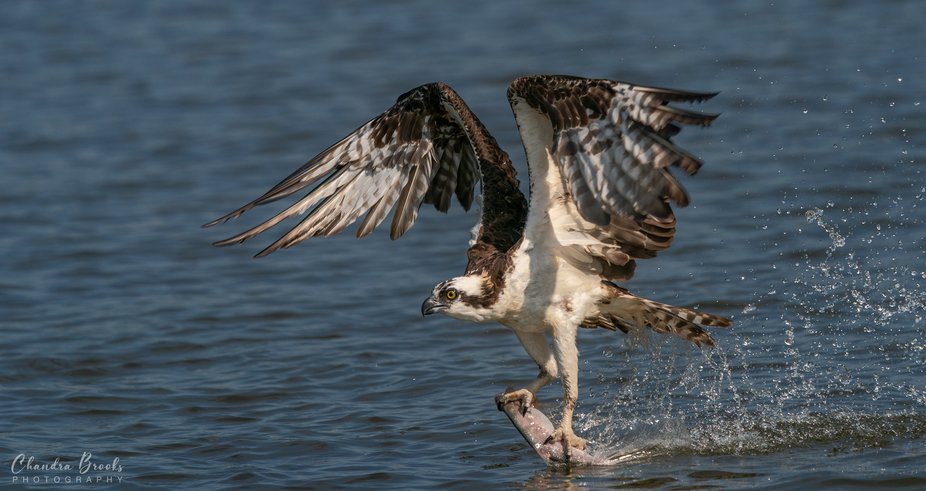 A osprey skimming the water with prey