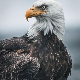 The eagles of Unalaska are so used to being around humans that they don't tend to get spooked easily when you are nearby compared to other...