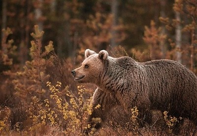 Smiling into the weekend . . . #finland #bear #bears #wildlife #exploretocreate #nature #traveler #wildlifephotography #grizzlybear #bokeh #canon #animals #animales #awakethesoul #moodygrams #folksouls #wildernessculture #agameoftones #natgeo #natgeowild