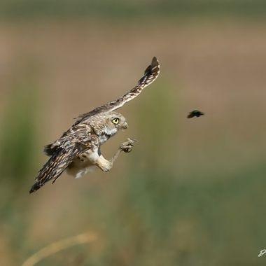 Burrowing Owl DSC00158
