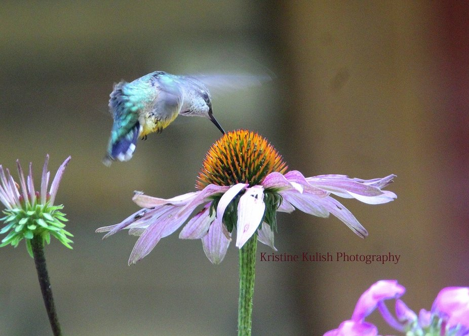 Hummingbirds on coneflowers