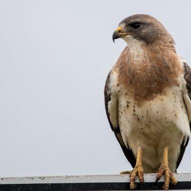 0P6A7703 Swainson's Hawk
