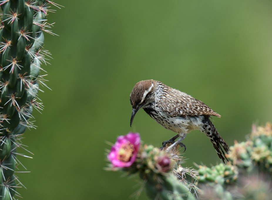 This series may be my favorite of the bird pictures I took while in Big Bend National Park during...