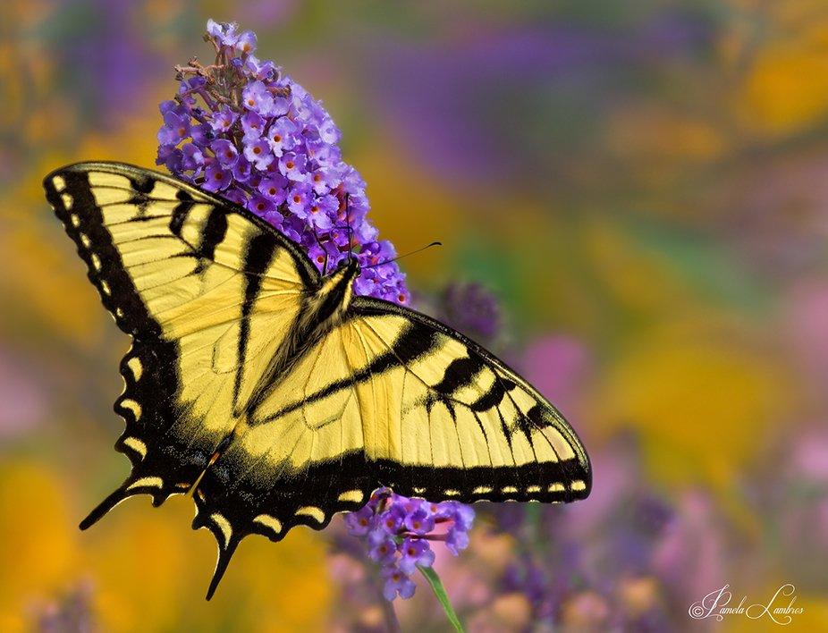 Swallowtail Butterfly enjoying an early dinner
