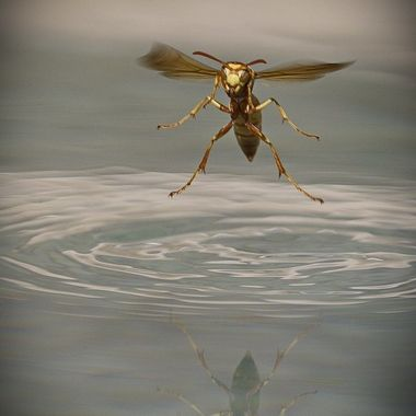 A wasp getting a drink of water from the pool.