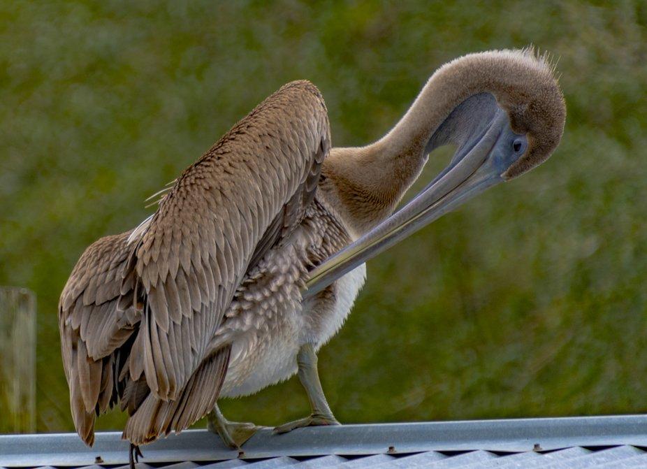 Pelican_Preening-6884