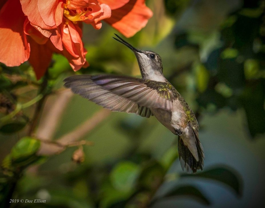 Not sure if Black Chinned or Ruby Throat   Hummingbird   Mineral Wells, Tx. USA
