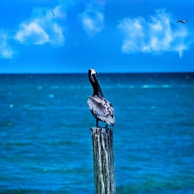 Pelican on a Pole NW