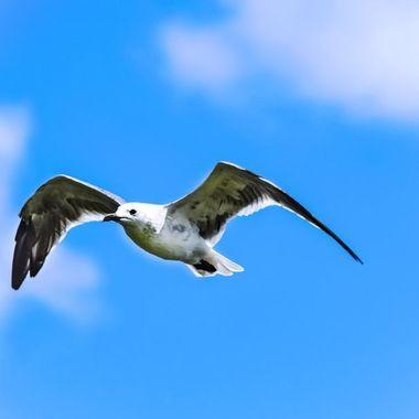 Seagull Overhead NW