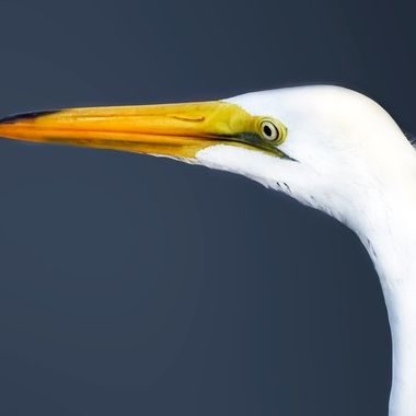 White Heron at Clearwater NW