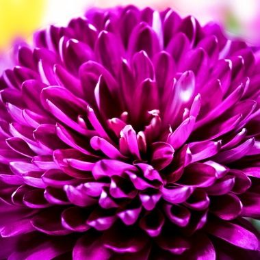 Chrysanthemum in Fuschia NW