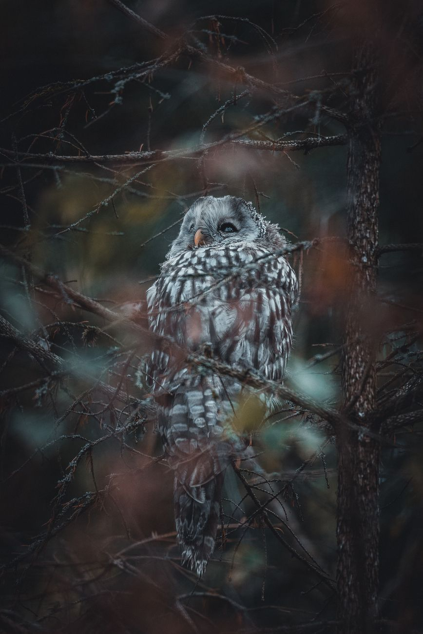 Pine cute owl