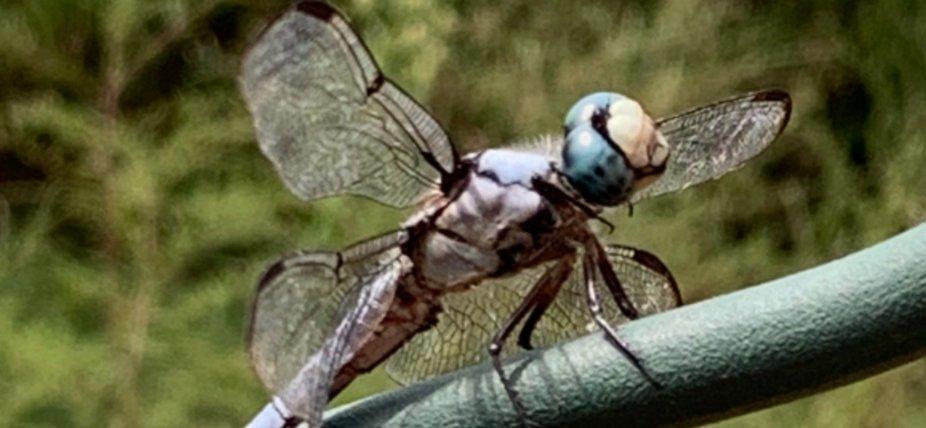 Curious Dragon fly