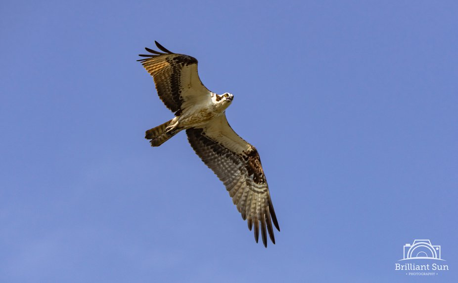 Osprey hunting for fish