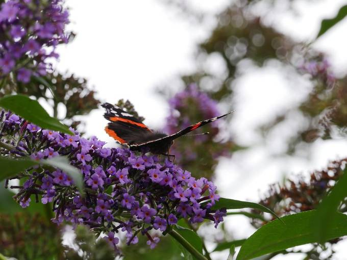 Wooly back Red Admiral