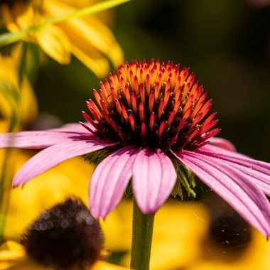 Flower _DSC0056