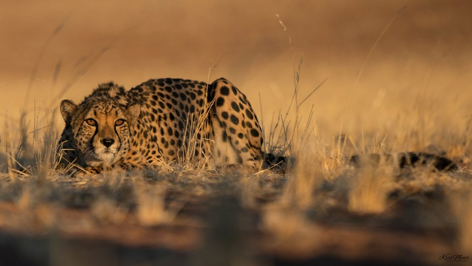 Beautiful , golden morning light and eye in eye with this gorgeous cheetah