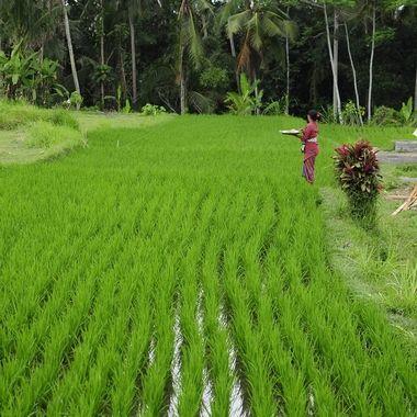 Warung Padi Gadam, Ubud, Bali