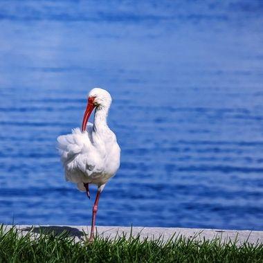 Ibis on One Leg NW