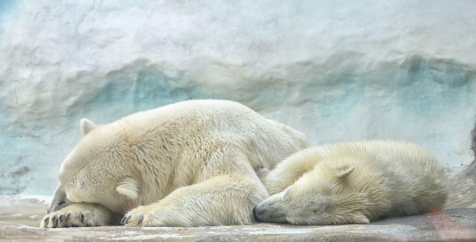 Don't Poke  the Sleeping Polar Bears