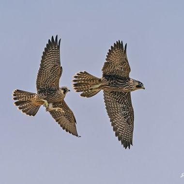 Peregrine Falcon Juvenile DSC01785