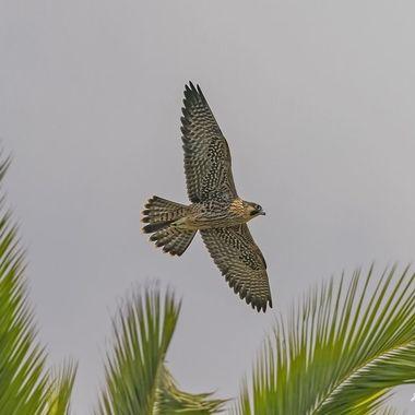 Peregrine Falcon Juvenile DSC01834