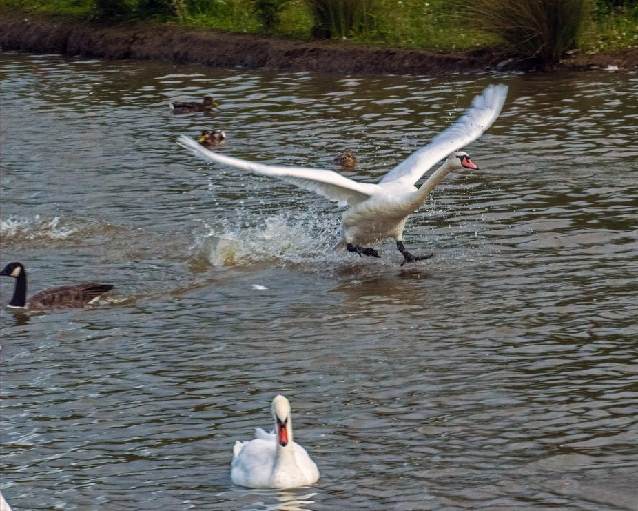 Swan Landing on lake at Herrington Country Park, Sunderland UK.